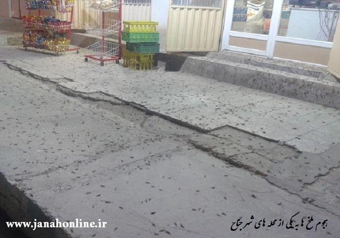 تصاویری از هجوم ملخ ها به یکی از محلات شهر
